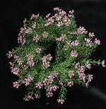 "FG8622PK: 9"" ASTILBE RING 3.5"" CENTER PINK"