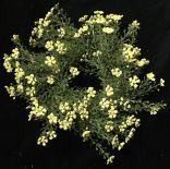 "FG8622YL: 9"" ASTILBE RING 3.5"" CENTER YELLOW"